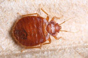 Bed Bug — Bug Exterminator in Tuscon, AZ