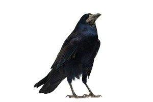 Crow — Bug Exterminator in Tuscon, AZ