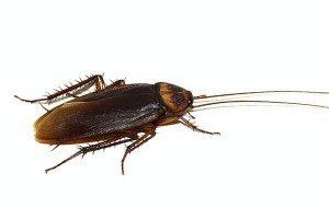 Cockroach — Bug Exterminator in Tuscon, AZ